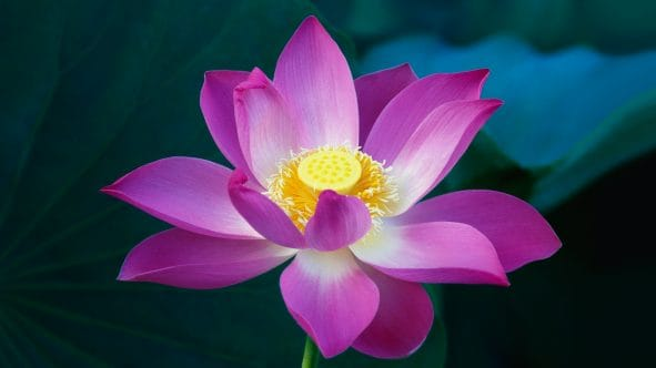 picture of a pink lotus